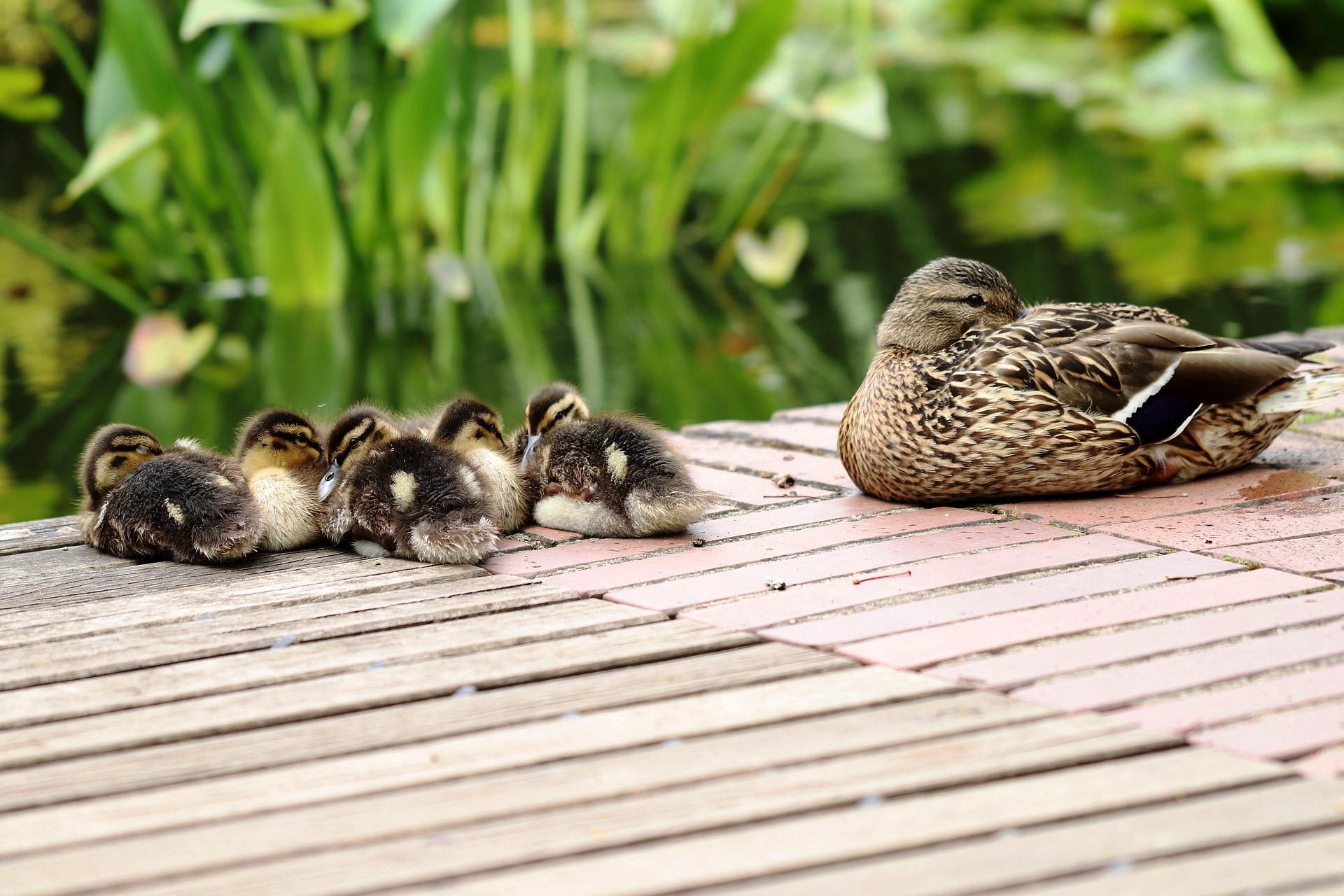 Tiere einschlafen schlafen Ente Küken Einschlaflied